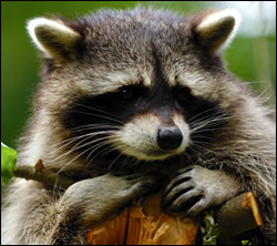 Raccoon removal and control Nashville